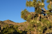 Joshua Tree (11)