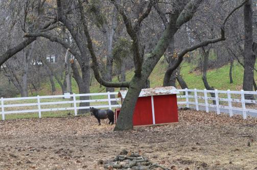 Miniature horse standing in the cold