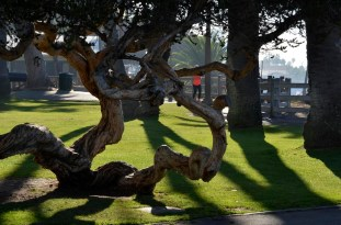 Curly trees line the clifftop park