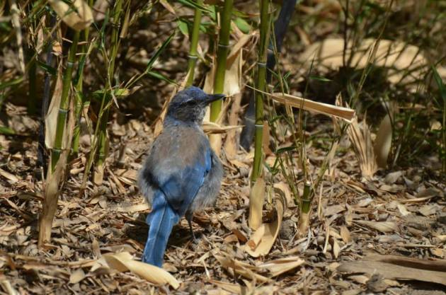 Bluejay and Bamboo