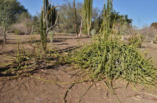 Ouch and Other Desert Plants (8)