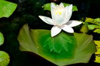 Lotus Blossom Reflection (SueBee)