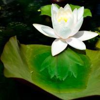 Lotus Blossom Reflection (SueBee)