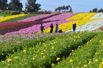 The Flower Fields (14)