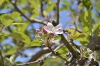 Springtime at Oak Glen (4)