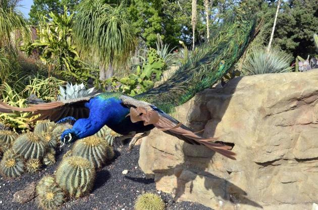 First time I'd ever seen peacock in flight