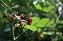 Berry Pickin' (2)