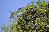 Berry Pickin' (5)