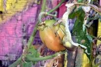 Back Alley Tomato (4)