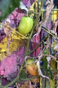 Back Alley Tomato (5)