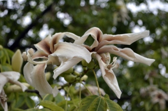 Fascinated by the Brown Flower Tree (4)