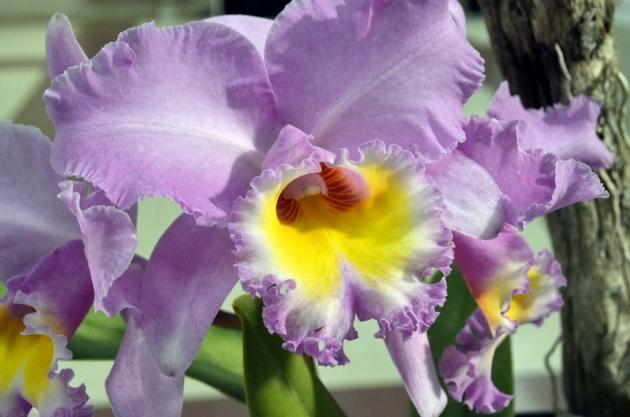 Lavender Orchid