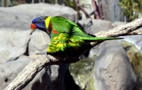 Lorikeets in Long Beach (2)