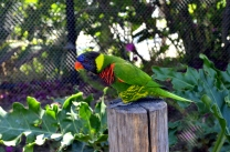 Lorikeets in Long Beach (3)