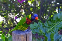 Lorikeets in Long Beach (4)