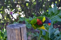Lorikeets in Long Beach (5)