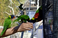 Lorikeets in Long Beach (6)