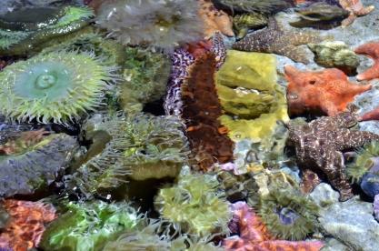 Tide pool exhibit at the Aquarium
