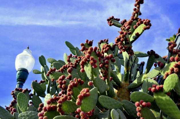 Cactus Apples