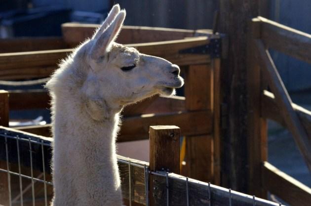 Llama Overbite