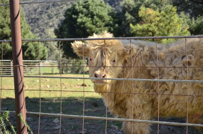 Fluffy Cow (1)
