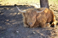 Fluffy Cow (2)