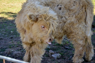 Fluffy Cow (4)