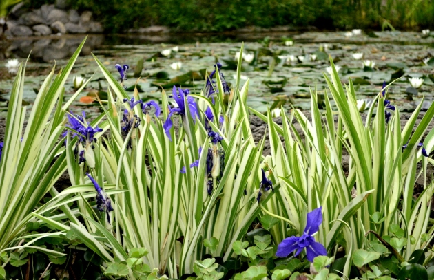 Blue Lilies by the Pond