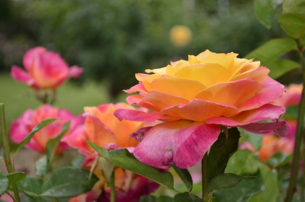Rainbow Sherbet Rose