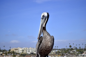 Brown Pelican Posing