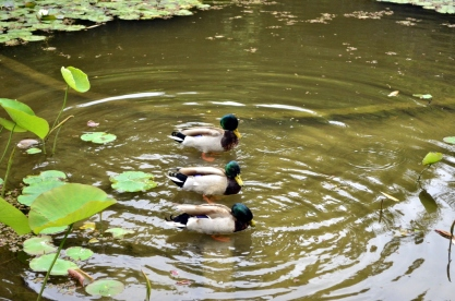Ducks in a Row (1)