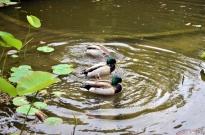 Ducks in a Row (2)