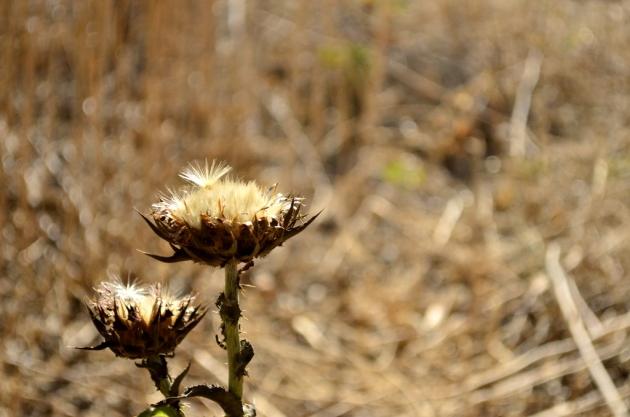 Prickly Seedpod