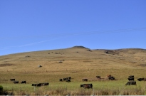 Cattle just south of Cambria, on the way to Cayucos