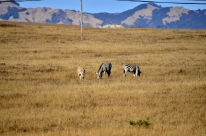 Zebras on the Hearst Ranch