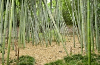 Guard of Huntington's Bamboo (3)