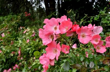 Portland Rose Garden, part 1 (14)