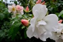 Portland Rose Garden, part 1 (3)