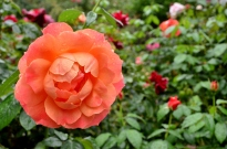 Portland Rose Garden, part 1 (4)