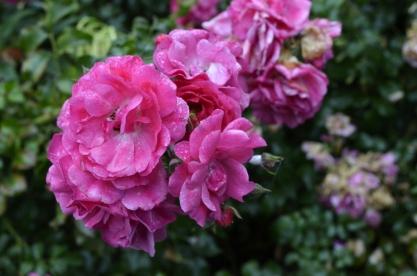 Portland Rose Garden, part 2 (1)