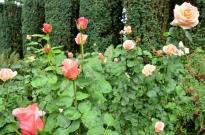 Portland Rose Garden, part 2 (13)
