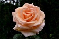 Portland Rose Garden, part 2 (14)
