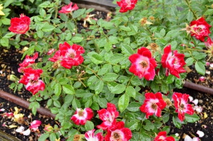 Portland Rose Garden, part 2 (4)