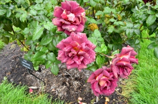 Portland Rose Garden, part 2 (6)
