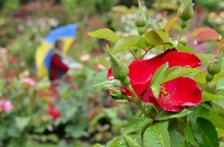Portland Rose Garden, part 2 (9)