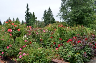 Portland Rose Garden, part 3 (1)
