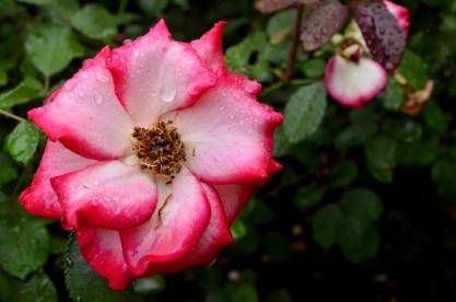 Portland Rose Garden, part 3 (2)