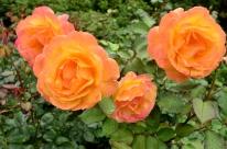 Portland Rose Garden, part 3 (7)