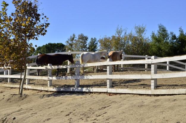 Temecula's Horses (4)