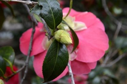 Descanso's Camellias (1)